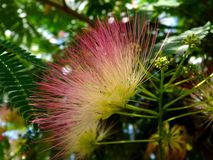 Persian silk tree close up with beautiful pink red silky blooming flower royalty free stock image