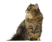 Persian sitting and looking up Stock Photo