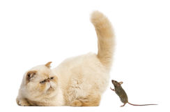 Persian staring at a mouse Stock Images