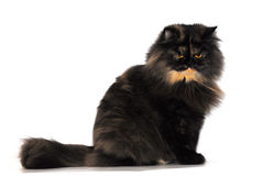 Persian tortie cat (PER f 62) on white background. Persian tortie cat (PER f 62) isolate on white background in studio. Photo taken on: January 11th, 2010 Royalty Free Stock Photos