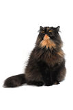 Persian tortie cat (PER f 62) on white background Royalty Free Stock Photography