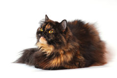 Persian tortie cat (PER f 62) on white background Stock Images