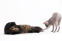 Persian tortie cat and sphynx on white background Royalty Free Stock Image