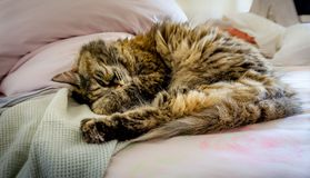 Persian-tricolor cat in bed royalty free stock photo