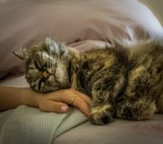 cat sleeping on a woman`s hand stock photo