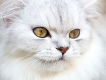 Persian white cat Stock Photos