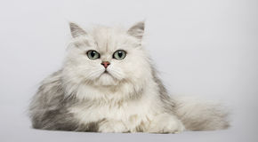 Persian (2 years old) Royalty Free Stock Image