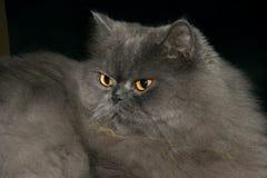 Persiano 04 del gatto Fotografia Stock