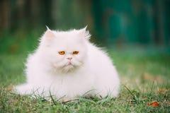 Persiano bianco divertente sveglio Cat Kitten With Yellow Eyes Resting dentro Immagini Stock