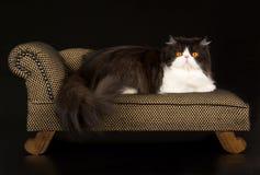 Persiano in bianco e nero sul chaise marrone Immagini Stock