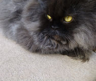 Persiano nero Cat Lying Down su pavimentazione Fotografia Stock Libera da Diritti