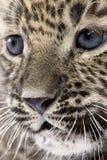 persiano vicino del leopardo del cub 6 sulle settimane Immagine Stock Libera da Diritti