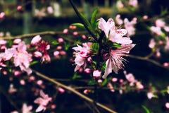 Persica Λ άνθος-Amygdalus ροδάκινων στοκ εικόνα με δικαίωμα ελεύθερης χρήσης