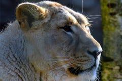 Persica asiatico femminile di Leo della panthera del leone Immagini Stock Libere da Diritti