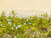 Persica de Veronica - champ-véronique commune sur fleurir le printemps photo stock