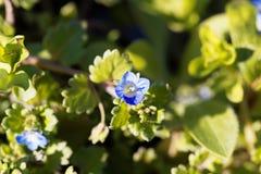 Persica del Veronica di veronica maggiore di inverno Fotografia Stock
