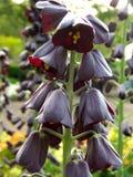 Persica di Fritillaria o fritillaryin persiano persiano o del giglio un giardino a Tokyo fotografia stock