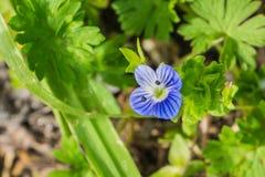 Persica persan de Veronica de véronique ; wildflower de famille de plantain fleurissant en Californie, indigène vers l'Eurasie photographie stock