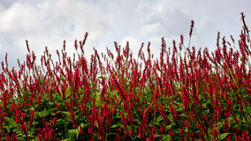 Persicaria affinis 'Darjeeling Red' flower on field Stock Photo