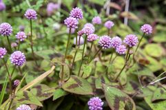 Persicaria capitata in bloom, prostrate herb. Small wild flower, persicaria capitata in bloom, prostrate herb with interesting green and purple leaves Royalty Free Stock Image