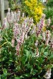 Persicaria flowers Stock Photo