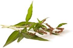 Persicaria hydropiper on white Stock Photo