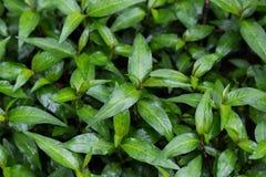 Persicariaodorata Bladeren in de tuin op een regenachtige dag Royalty-vrije Stock Afbeeldingen
