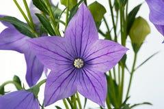 Persicifolia brillante de la campana de la flor, primer fotografiado Aislado Imagen de archivo