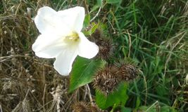 Persicifolia Campanula στοκ φωτογραφίες