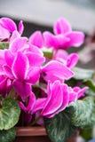 Μύλος persicum Cyclamen Στοκ Εικόνες