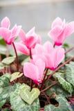 Μύλος persicum Cyclamen Στοκ Εικόνα