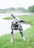 Persiga a agitação fora da água após nadar no rio do al ou em um lago Fotografia de Stock Royalty Free