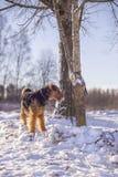 Persiga Airedale Terrier en una nieve atada al árbol imagenes de archivo