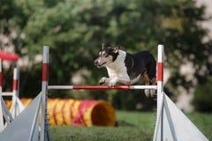 Persiga cerc sobre um salto em um evento da agilidade Fotografia de Stock Royalty Free