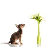 Persiga a chihuahua e o vaso com as flores isoladas no fundo branco Foto de Stock