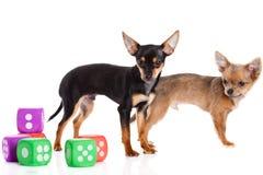 Persiga a chihuahua e os cubos isolados no fundo branco Fotografia de Stock
