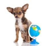 Persiga a chihuahua isolada no planeta branco do wold do conhecimento de fundo Foto de Stock