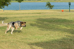 Persiga con su ojo en la bola en un parque del perro Imagen de archivo