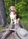 Persiga el beagle Imagenes de archivo