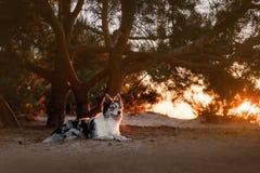 Persiga el border collie que miente en la playa en la puesta del sol Imagenes de archivo