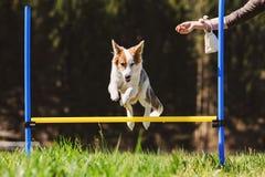 Persiga el entrenamiento con un perro de perrito en el prado, obstáculos de la agilidad y fotografía de archivo libre de regalías