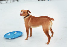 Persiga el freesbee rojo del juego del pelo en el parque de la nieve Fotos de archivo libres de regalías
