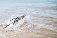 Persiga el funcionamiento en la playa con un palillo Terrier de Staffordshire americano fotografía de archivo