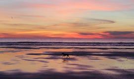 Persiga el funcionamiento en la playa en la puesta del sol en Oregon Fotos de archivo libres de regalías
