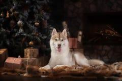 Persiga el husky siberiano de la raza, el perro del retrato en un fondo del color del estudio, la Navidad y el Año Nuevo Foto de archivo libre de regalías