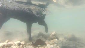 Persiga el paseo bajo el agua a cámara lenta en el animal doméstico azul de Tailandia del mar, animal, lindo, subacuático, canino almacen de video