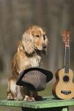 Persiga el perro de aguas del color de oro con un ukelele Ukreina Foto de archivo