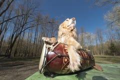 Persiga el perro de aguas del color de oro con un ukelele Ukreina imagenes de archivo