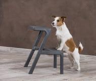 Persiga el perro del retrato de Jack Russell Terrier de la raza en vagos de un color del estudio imagen de archivo libre de regalías