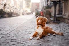 Persiga el perro perdiguero tocante del pato de Nova Scotia en ciudad vieja fotos de archivo libres de regalías